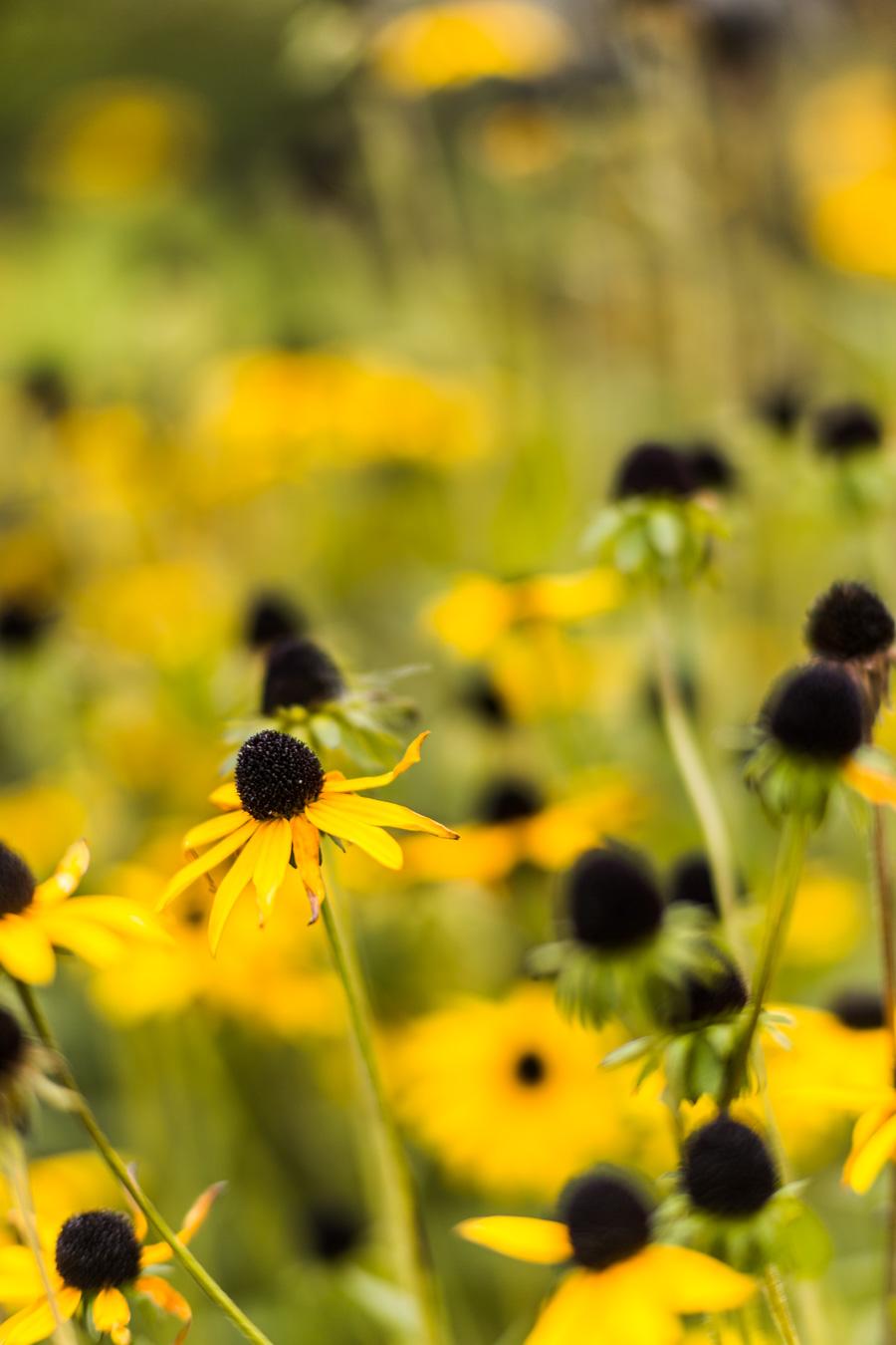 Žlutý záhon třapatky - vůně podzimu